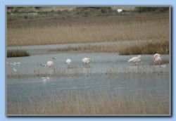 Flamingos at Mykali