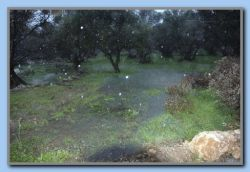 Olive trees standing in water-Sotiria