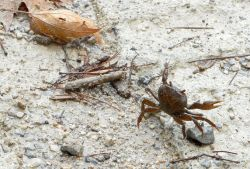 30-freshwater_ crab_on_the_road