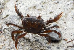 31-freshwater_ crab_on_the_road
