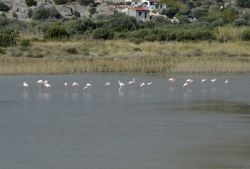 53-OCT2014_Flamingos_at_Mykali