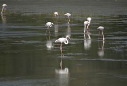 54-OCT2014_Flamingos_at_Mykali