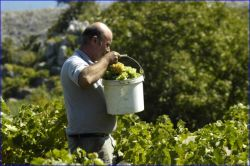 Carrying grapes . .