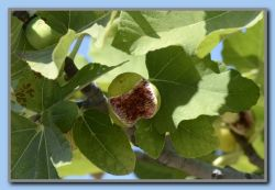Figs - more than ready
