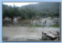 Olive trees SWIMMING in water-Sotiria