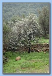 Almond tree flowering in the rain
