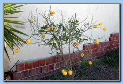 The citrus tree is loosing the leaves