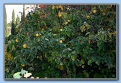 A tree full of quince.